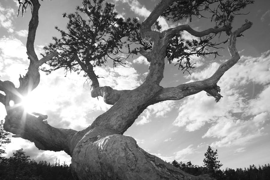 Bark Photograph - Weather Beaten Pine Tree And Sun - Monochrome by Ulrich Kunst And Bettina Scheidulin