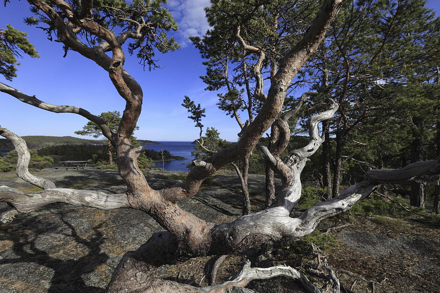 Baltic Sea Photograph - Weather Beaten Pine Tree At The Coast by Ulrich Kunst And Bettina Scheidulin