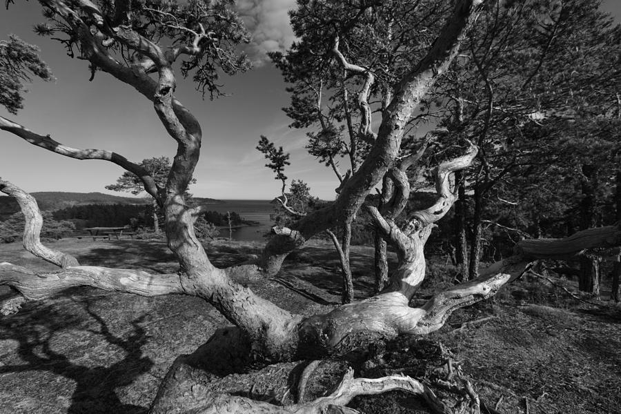 Baltic Sea Photograph - Weather Beaten Pine Tree At The Coast - Monochrome by Ulrich Kunst And Bettina Scheidulin