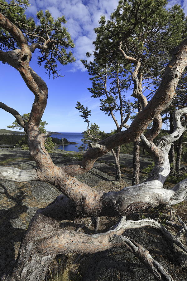 Baltic Sea Photograph - Weather Beaten Pine Tree At The Swedish High Coast by Ulrich Kunst And Bettina Scheidulin