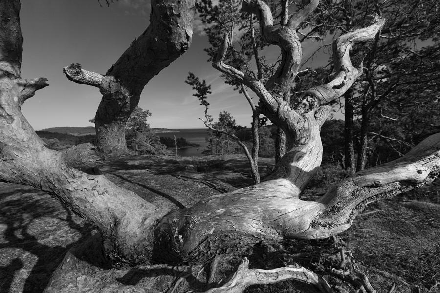 Baltic Sea Photograph - Weather Beaten Pine Tree - Monochrome by Ulrich Kunst And Bettina Scheidulin