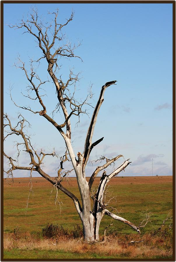 Tree Photograph - Weathered by Jim  Darnall