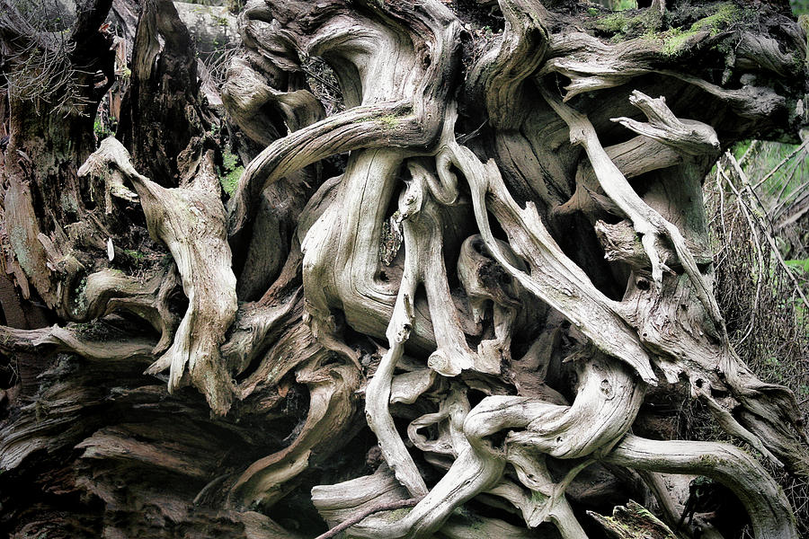 Roots Photograph - Weathered Roots - Sitka Spruce Tree Hoh Rain Forest Olympic National Park Wa by Christine Till