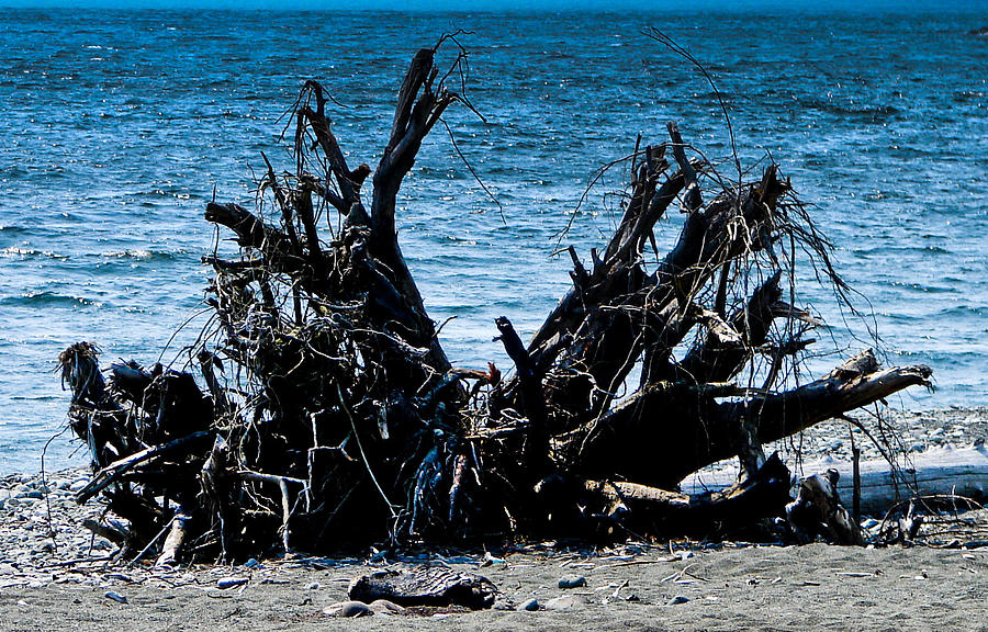Drift Wood Photograph - Weathered Roots by Chrissy Gibbs