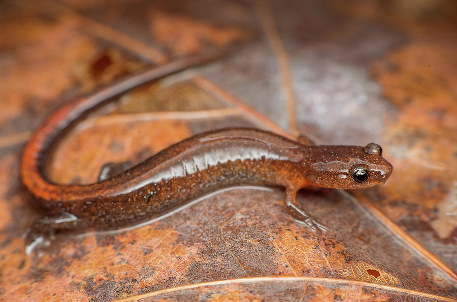 Salamander Photograph - Websters Salamander by Derek Thornton
