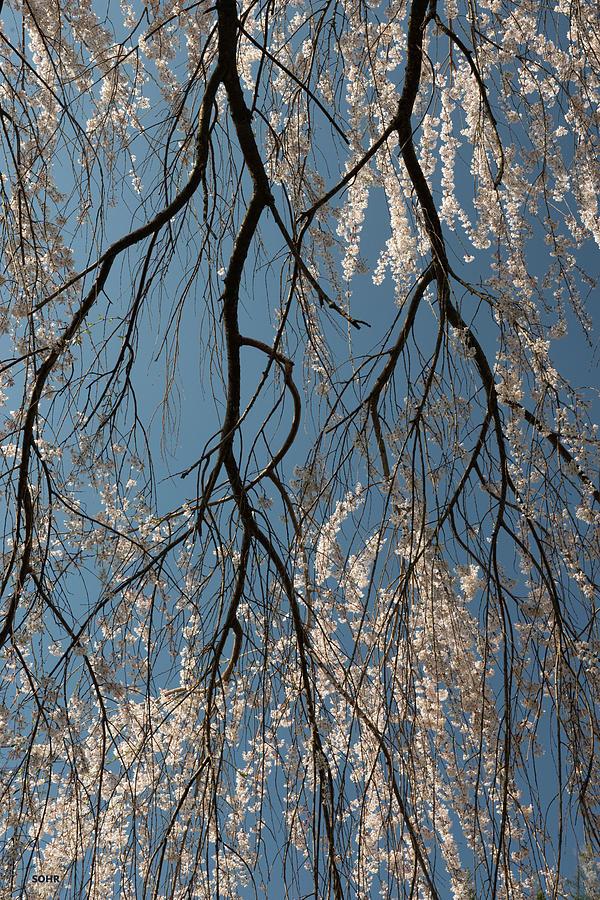 Weeping Cherry #2 by Dana Sohr