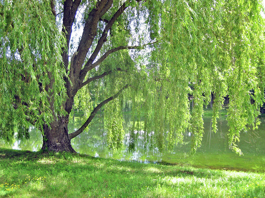 Weeping Willow No. 8-1 by Sandy Taylor