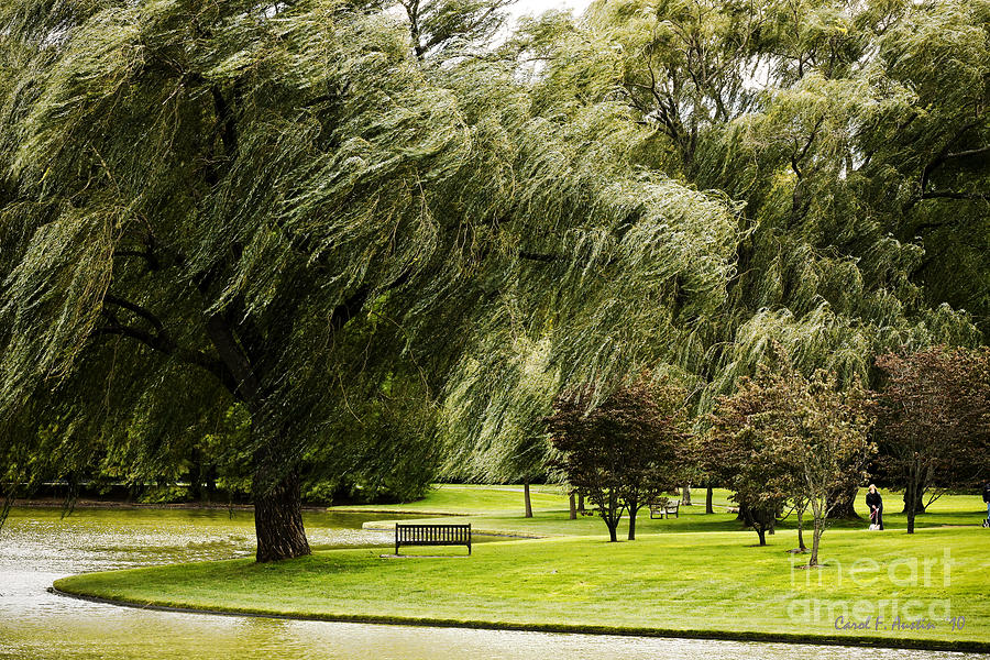 weeping willow trees on windy day photograph by carol f austin, Natural flower