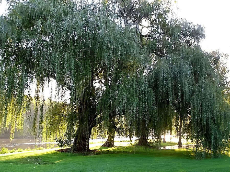 Image result for willow trees