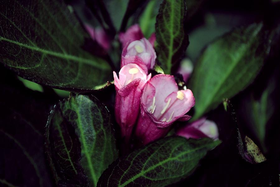 Pink Photograph - Weigela Florida Dark Horse Pink Flowering Shrub by Laura Pineda