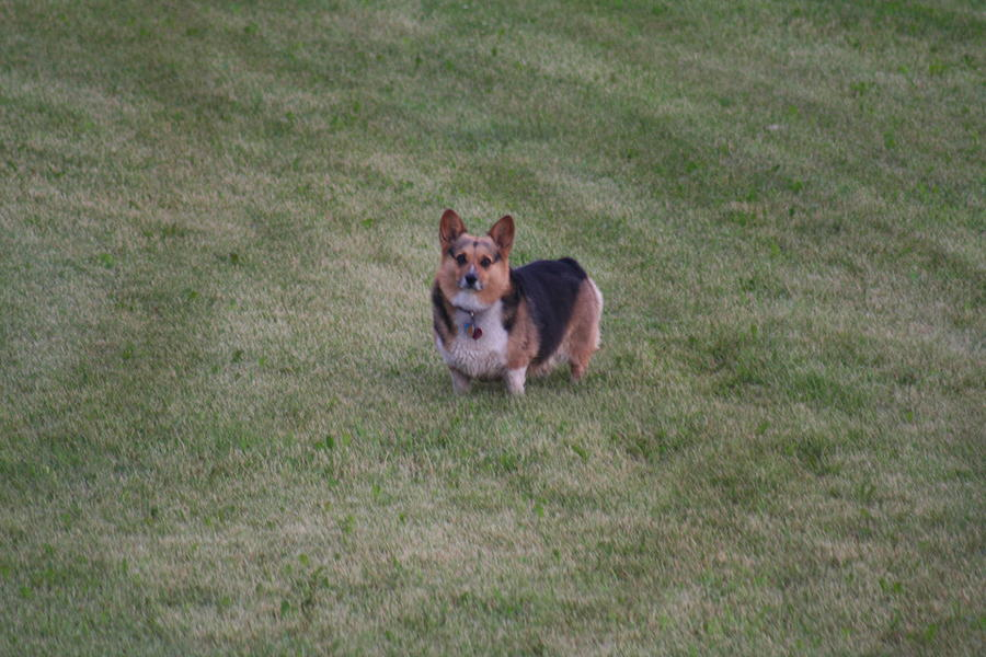 Dog Photograph - Welsh Corgie by Linda Ostby