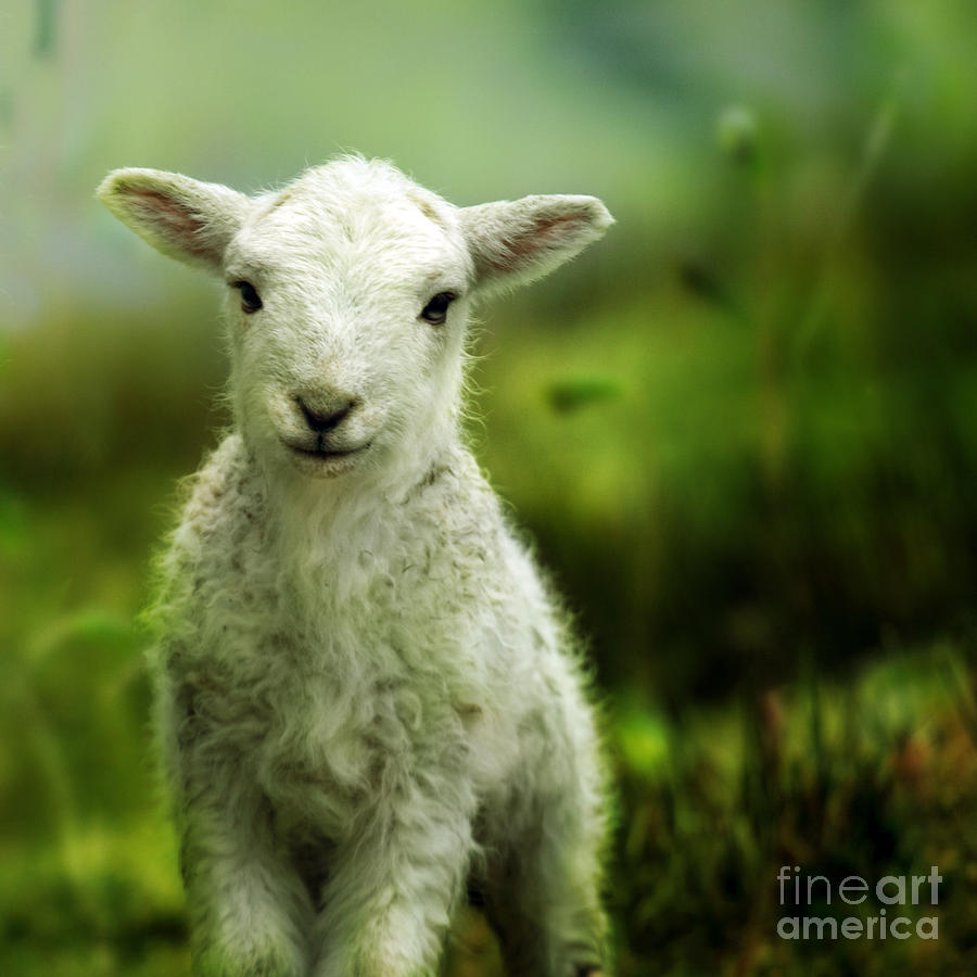 Welsh Lamb Photograph