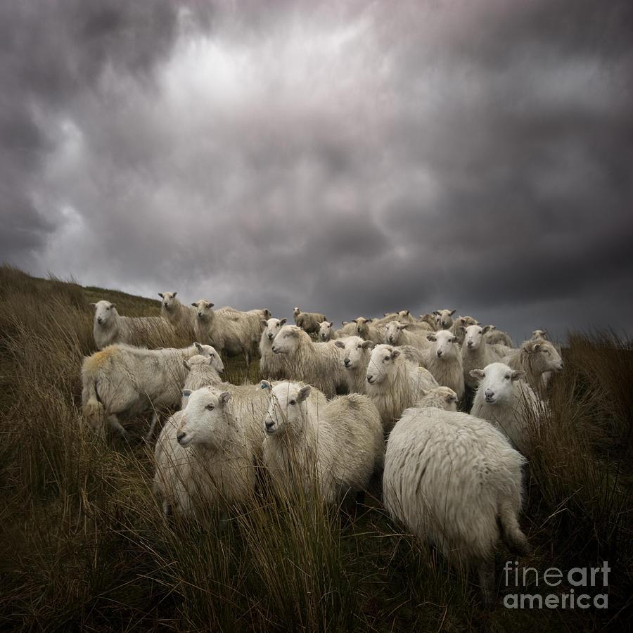 Lamb Photograph - Welsh lamb by Angel Ciesniarska