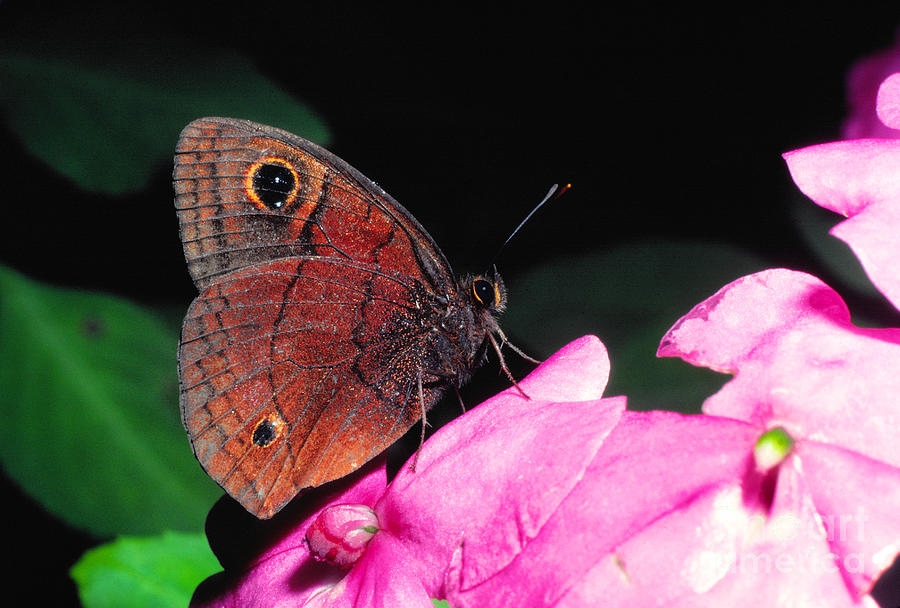 Butterfly Photograph - West Indian Buckeye by Thomas R Fletcher