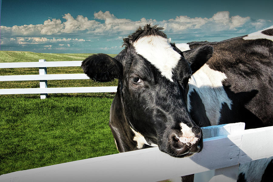 Dairy Photograph - West Michigan Dairy Cow by Randall Nyhof