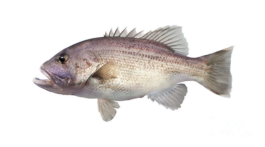Jewfish Photograph - Western Australian Dhufish by Vince Doran