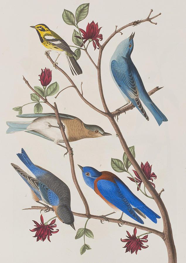 Audubon Painting - Western Blue-bird by John James Audubon