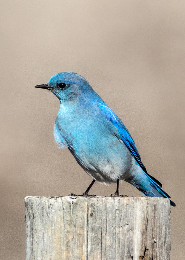Birds Photograph - Mountain  Bluebird by Dawn Key