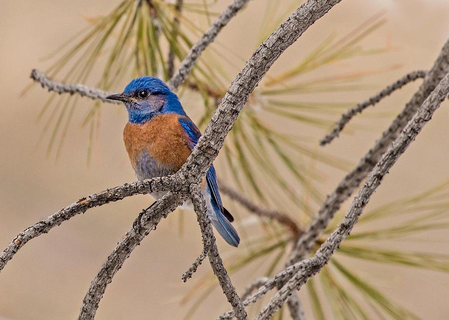 Western Bluebird Photograph - Western Bluebird Male In A Pine Tree.  by Dawn Key