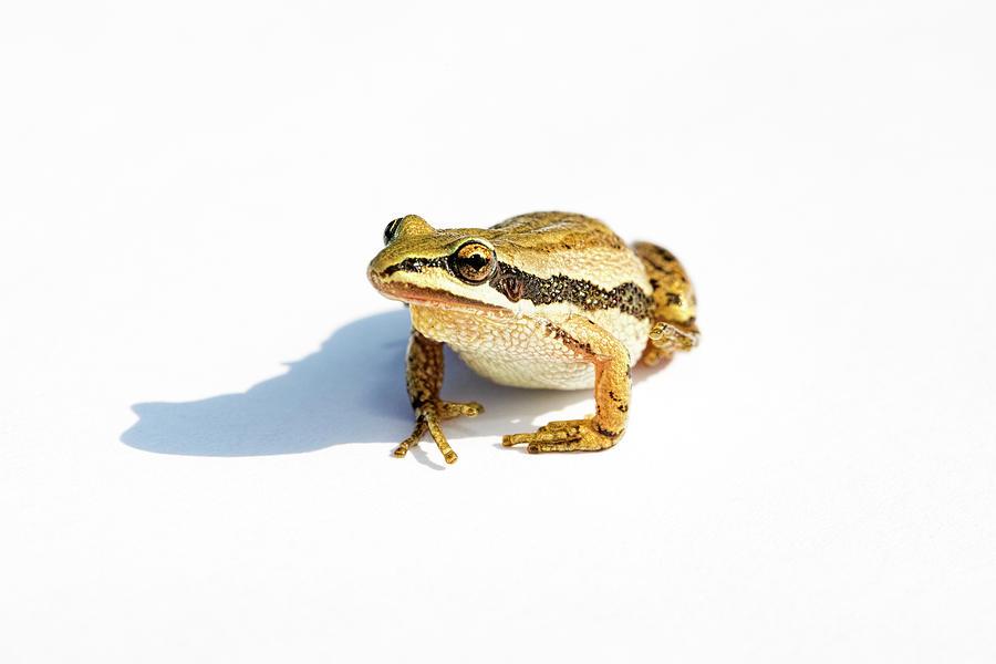 Western Chorus Frog 01 by Josh Bryant