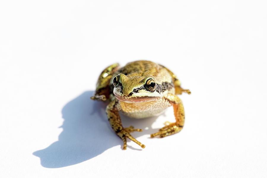 Western Chorus Frog 02 by Josh Bryant