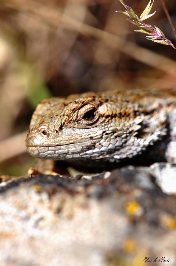 Lizards Photograph - Western Fence Lizard 1 by Noah Cole