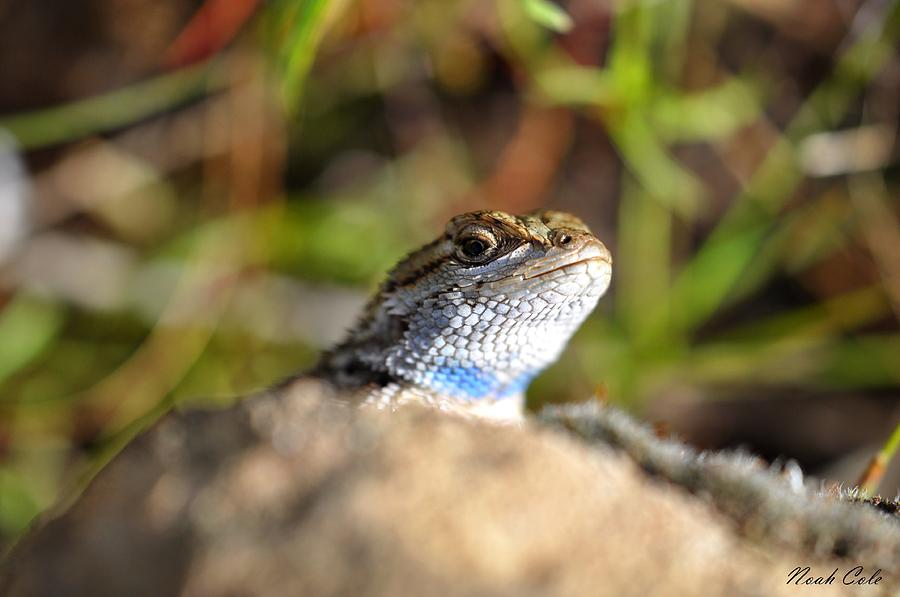 Lizards Photograph - Western Fence Lizard 4 by Noah Cole