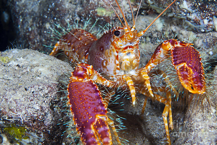 Bright Photograph - Western Hairy Painted Lobster by Dave Fleetham - Printscapes