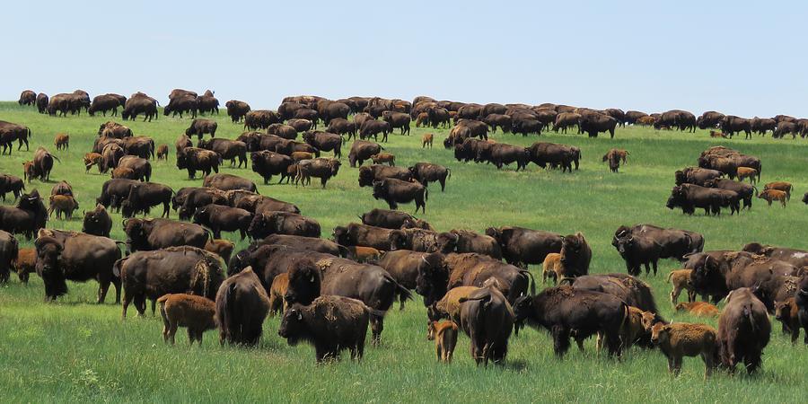 Western Kansas Buffalo Herd by Keith Stokes