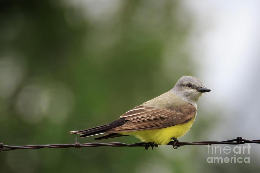Western Kingbird On A Wire Photograph