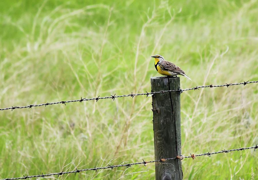 Western Meadowlark by Ryan Crouse