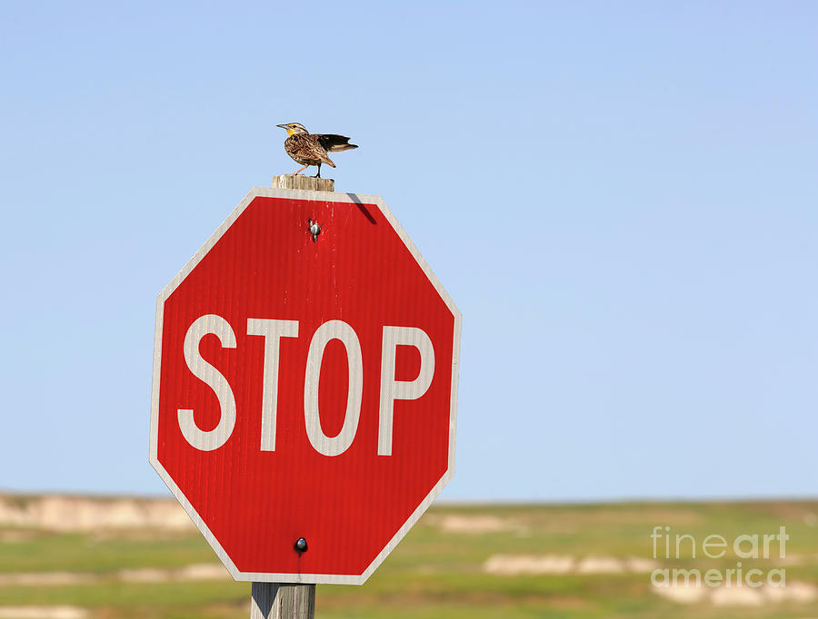 Western Meadowlark Photograph - Western Meadowlark Singing On Top Of A Stop Sign by Louise Heusinkveld
