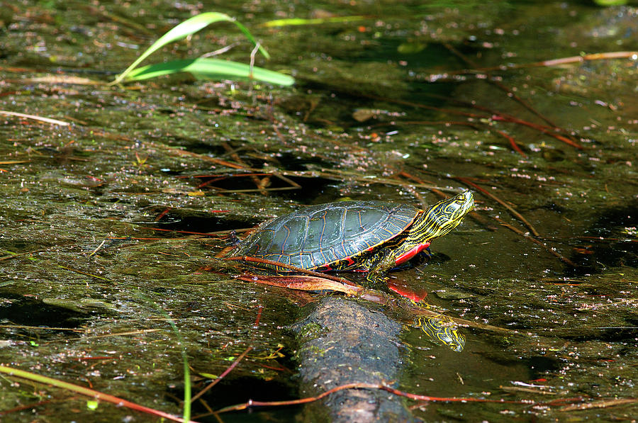 Western Painted Turtle Photograph - Western Painted Turtle by Sharon Talson