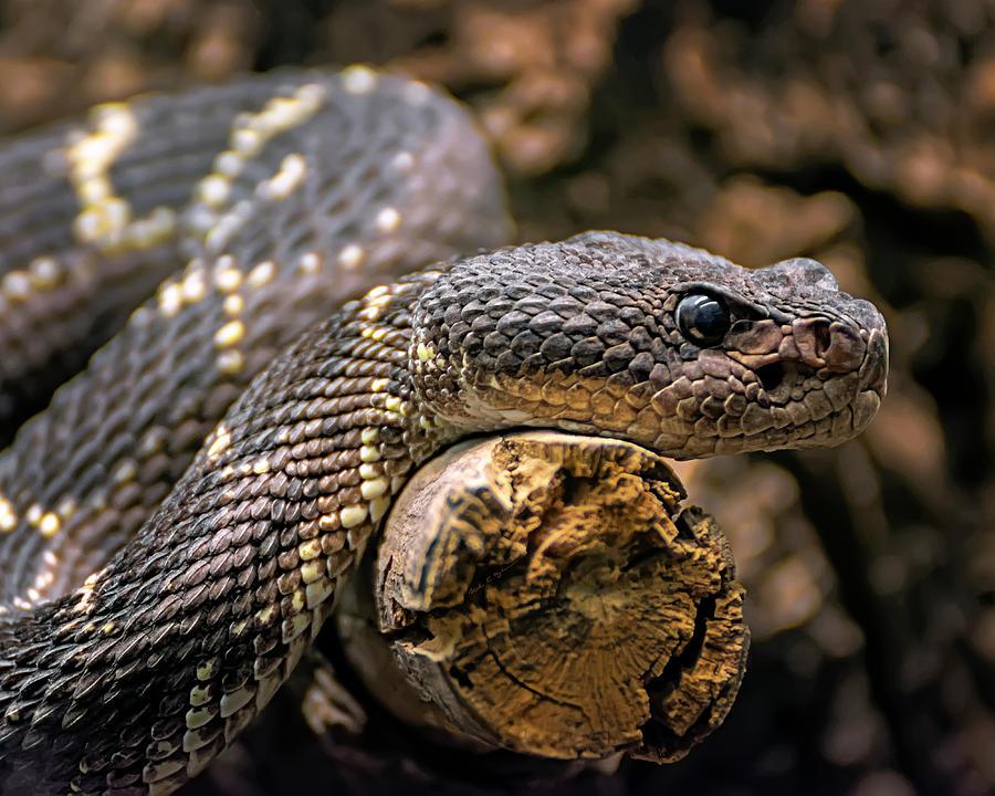 Western Rattlesnake H1822 Photograph