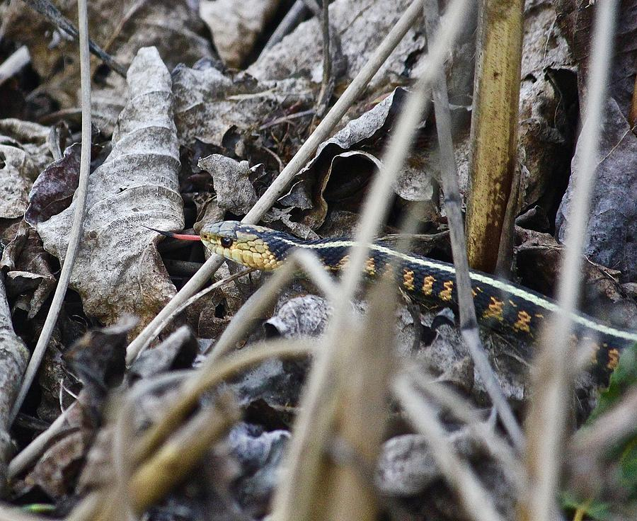 Western Red Striped Garter Snake 2 Photograph