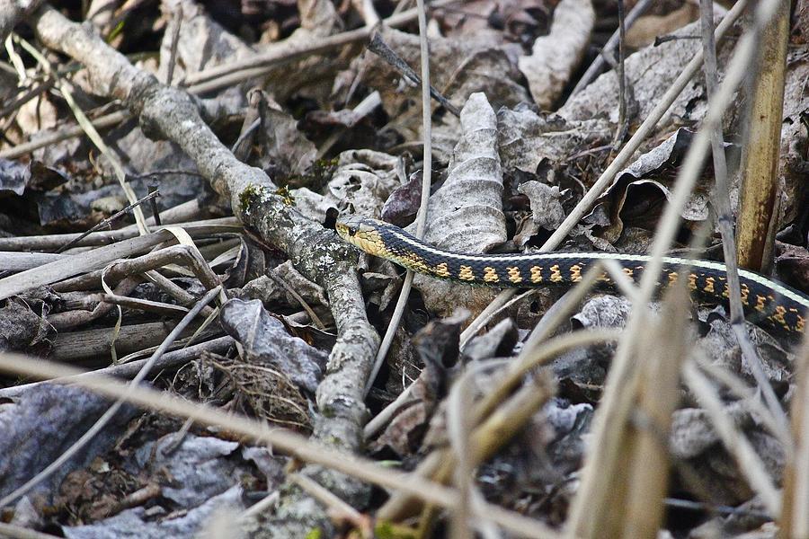 Western Red Striped Garter Snake 3 Photograph