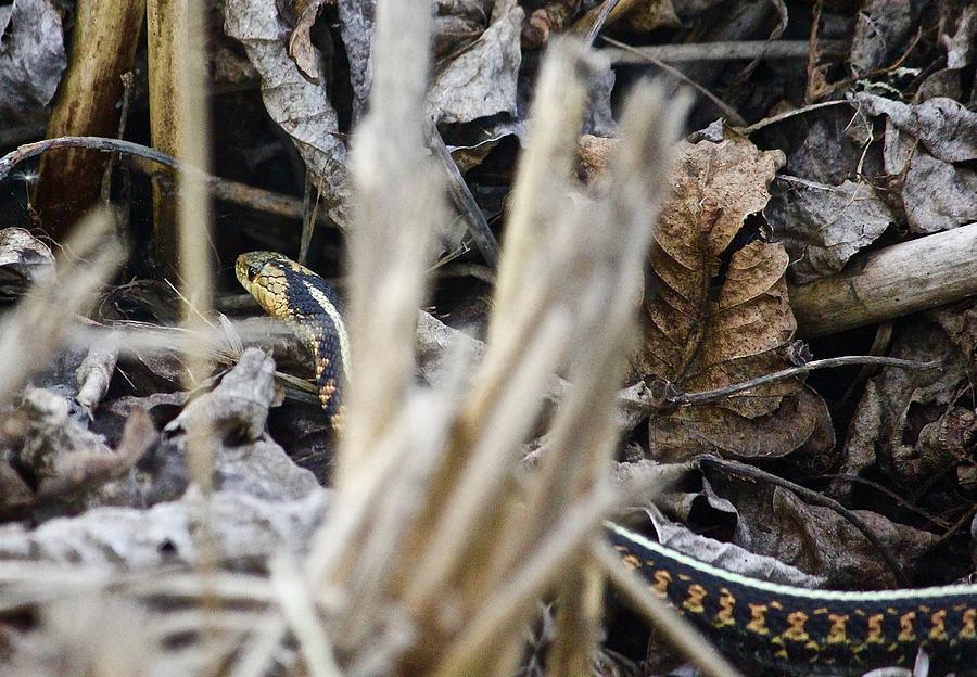 Western Red Striped Garter Snake Photograph