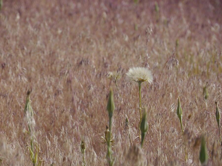 Field Photograph - Western Salsify Seed Head by Trance Blackman