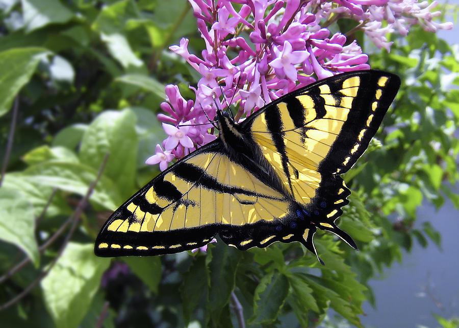 Swallowtail Photograph - Western Tiger Swallowtail Butterfly by Daniel Hagerman