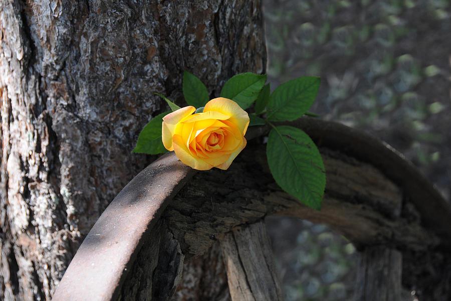Rose Photograph - Western Yellow Rose II by Jody Lovejoy