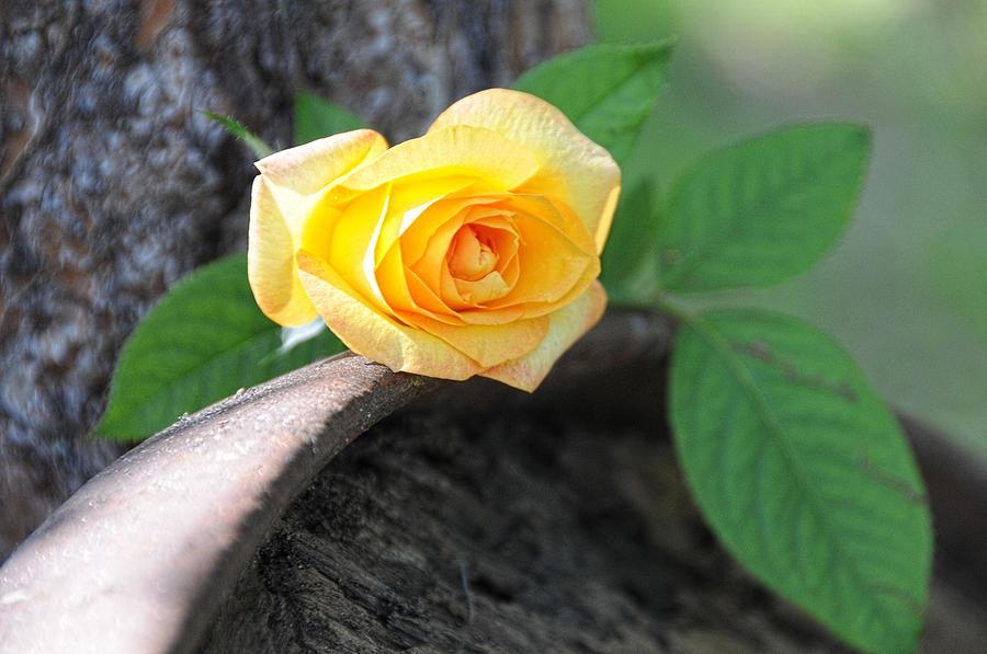 Rose Photograph - Western Yellow Rose Vi by Jody Lovejoy