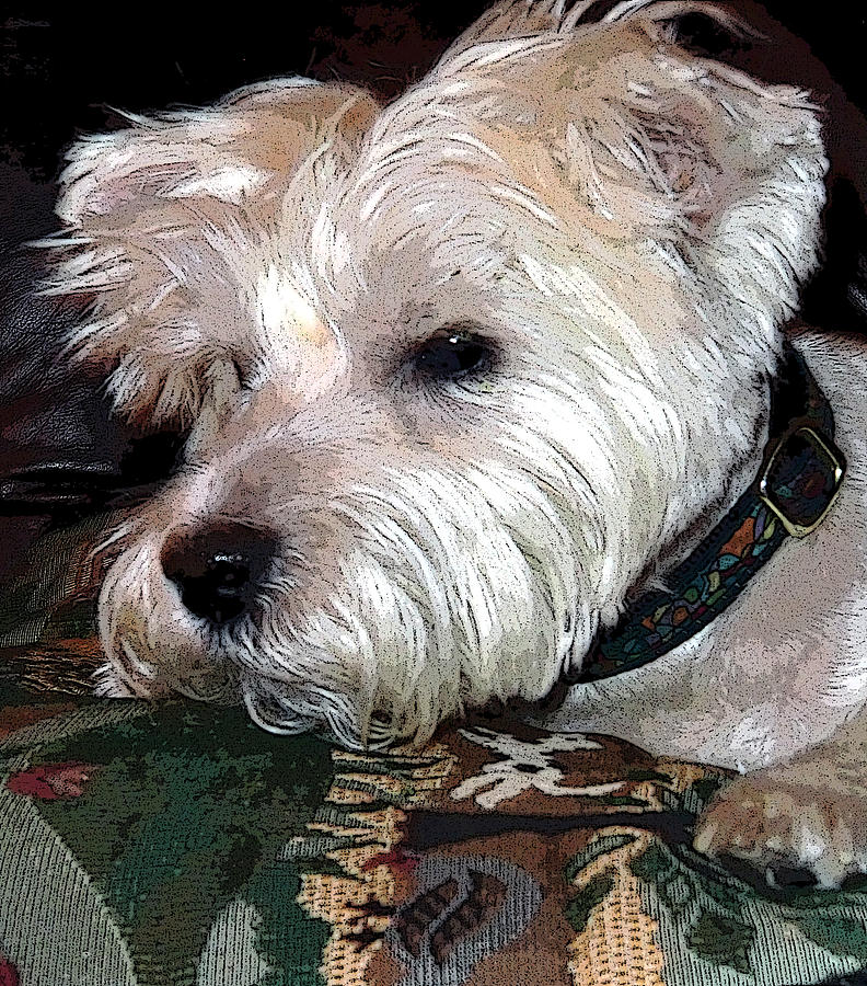West Highland Terrier Photograph - Westie by Mindy Newman