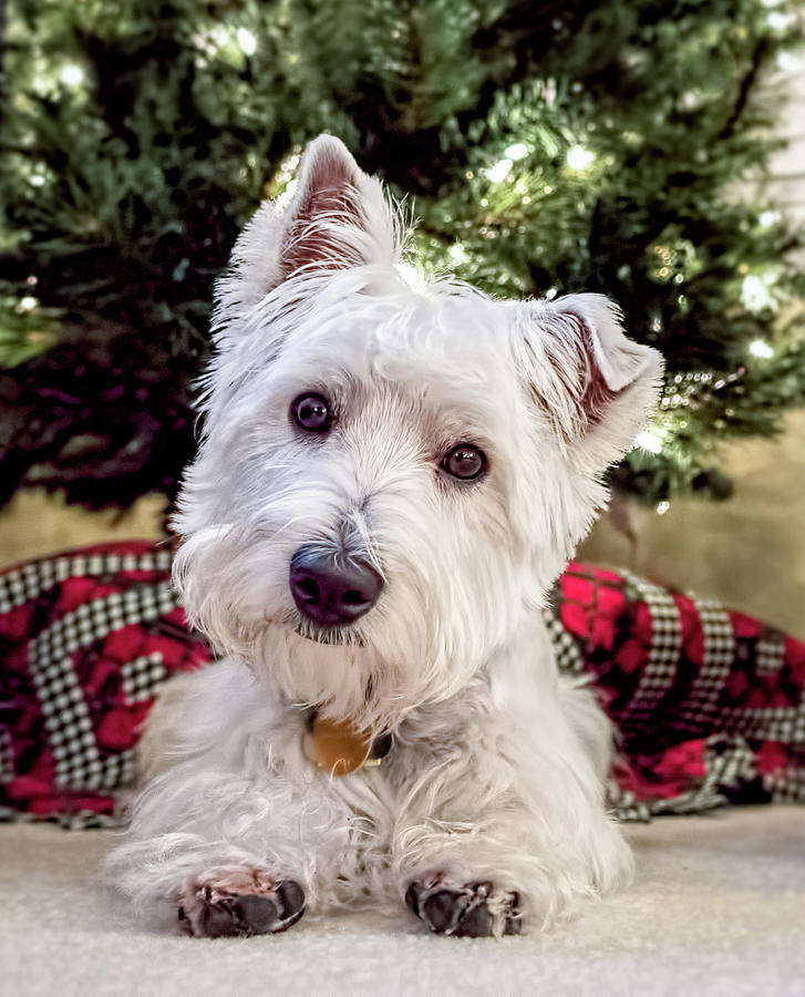 Westie Puppy With Christmas Tree Photograph by Wes Iversen