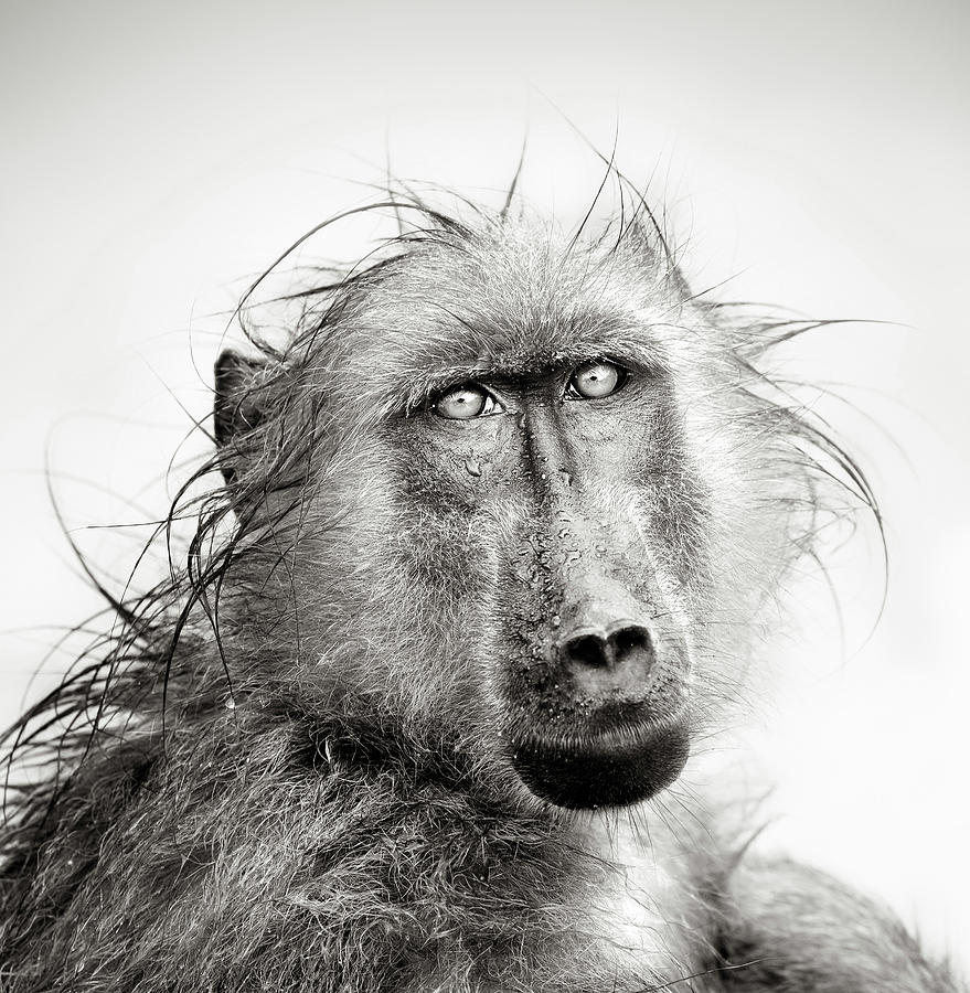 Baboon Photograph - Wet Baboon portrait by Johan Swanepoel