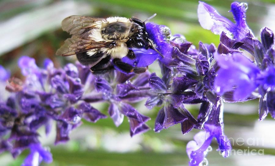 Bee Photograph - Wet Bumble Bee by Maria Scarfone