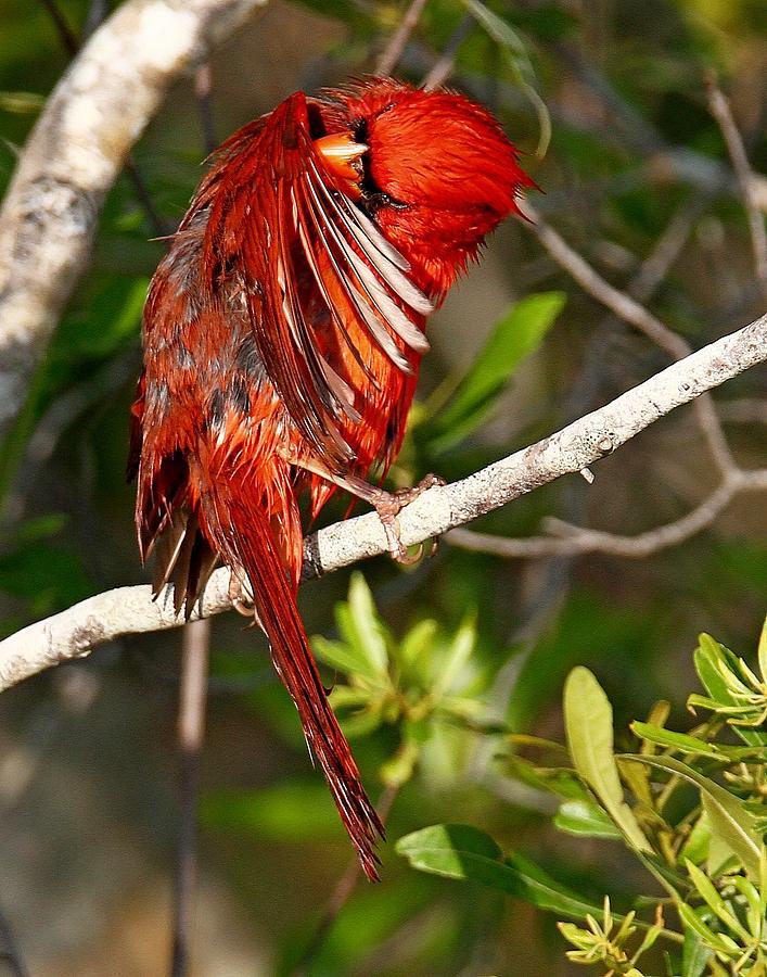 Wet Cardinal by Ira Runyan