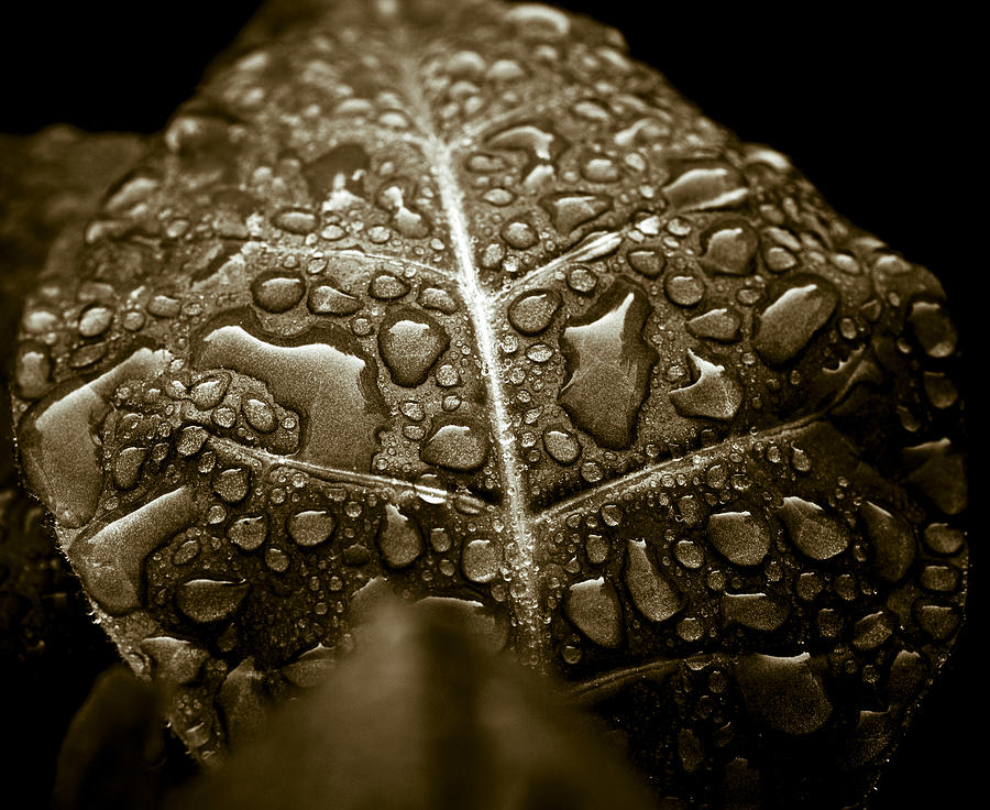 Tobacco Photograph - Wet Havana Tobacco Leaf by Frank Tschakert