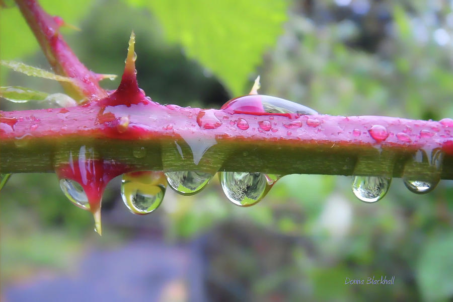 Thorn Photograph - Wet Prick by Donna Blackhall