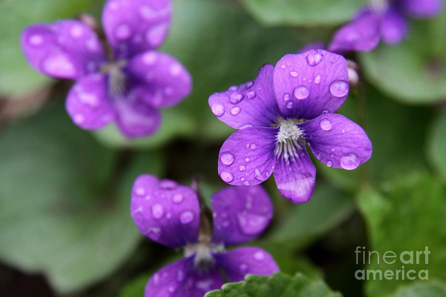 Violet Photograph - Wet Purple Violets by Chris Hill