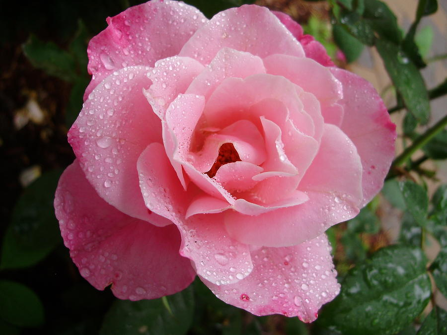 Roses Photograph - Wet Simplicity by Emerald GreenForest